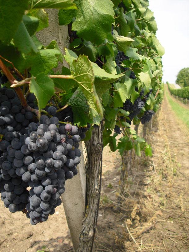 Vinice. Jižní Morava. Cyrilometodějská stezka. Víno